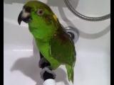 попугай Микеша исполняет арии