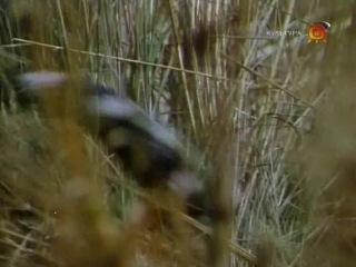 BBC Наедине с природой 7 Повесть о павлине и тигре