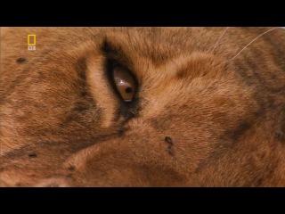 Планета хищников / Planet Carnivore 2 Лев