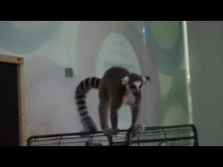 Лемурчик.  Выставка редких и экзотических животных.
