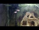 Мурена рыба аквариум кушает