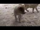 Щенки среднеазиатской овчарки - алабай