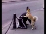Собака насилует человека (под бутиратом вероятно последний)