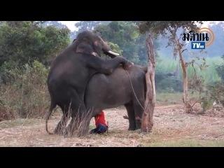 Все, что вы хотели знать о слонах, но стеснялись спросить (уберите детей от экранов ваших компьютеров)