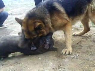 Собачьи бои питбуль vs НО