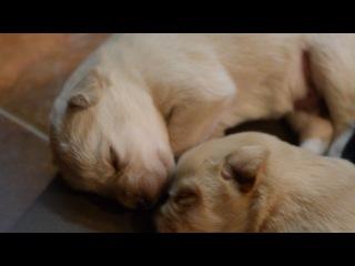 щенки Лабрадор открыли глазки