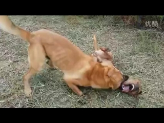 KANGAL VS PITTBULL 2