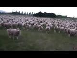 Год овцы, говорят, приходит. Как-то пугающе символично...