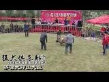 Собачьи бои чемпионат в Китае 2014 канарский дог vs кангал
