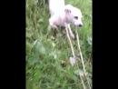 2 собаки слиплись жопами