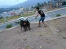 Собачьи бои ротвейлер vs бразильская фила