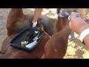 Кастрация жеребца с повалом (США)