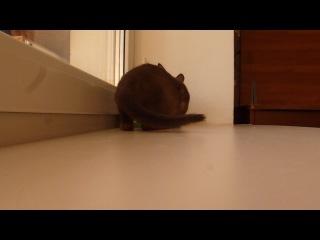 тонкинская кошечка Изабель, окрас браун сепия.