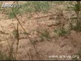 Нильский крокодил атакует варана