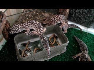 Эублефар (леопардовый геккон) Кормление