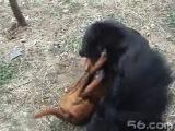 Собачьи бои тибетский мастиф vs тоса-ину