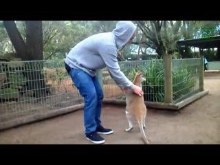 Забавные Кенгуру, Австралия. Видио fishki.net/video/1290877-zabavnyj-kenguru.html