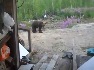 медведица убила рабочих