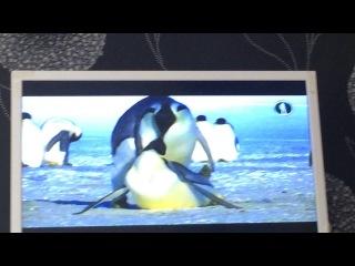 императорские пингвины)брачные игры)