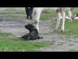 Собачий break-dance и корова-фанатка