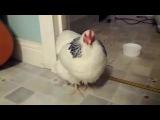 Курица чихнула кто нибудь видел вообще такое