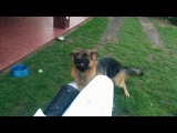 Собака против Suzuki DR-Z 400SM