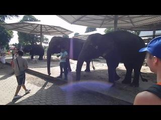 слоняра кушает)