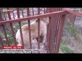 Медведь отрывается под AC/DC