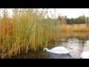 Лебеди. Комсомольск на Днепре.