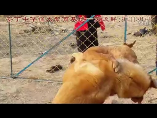 KANGAL VS PITTBULL NEW