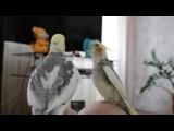 Мой говорящий  попугай Кешка!!!