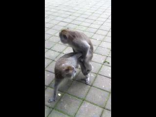 Monkey sex , ubud