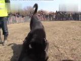 Собачьи бои ТИ сао  Ч Кавказа