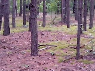 Лось в лесу под Варшавой