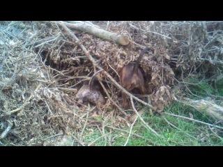 Рабочие собаки канарские доги, американский бульдог (тип скотта), метис питбуля
