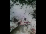 моя охота на зайца беляка