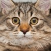 Dizel Cat