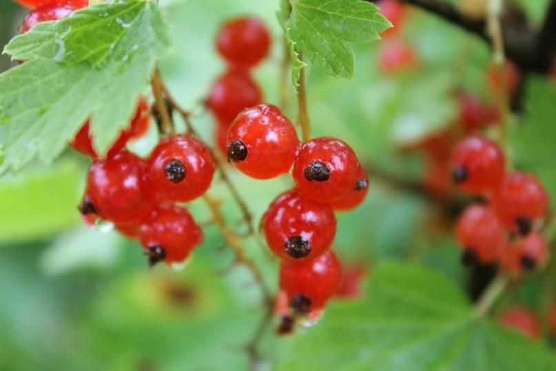 Плодовые деревья, ягодные кустарники