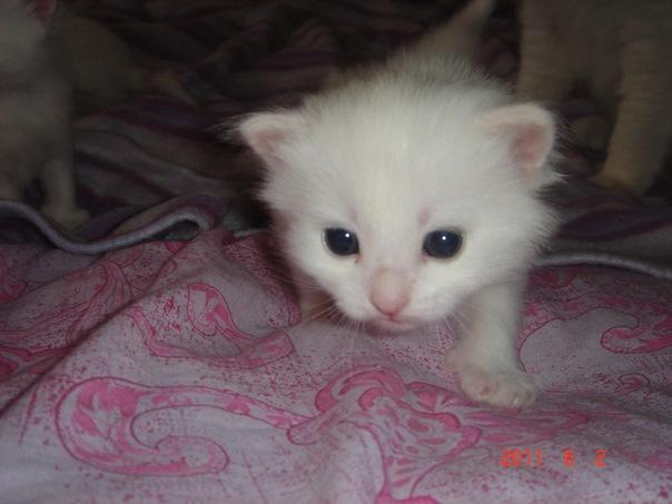 котята турецкой ангоры фото