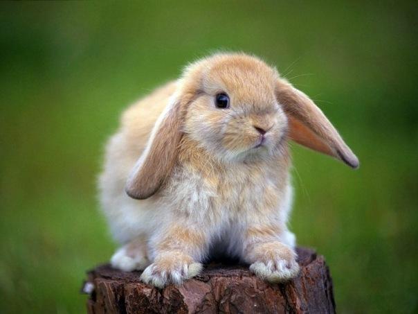 Американский кролик шиншила шубы фото