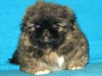 породистый щенок похож на маленького пекинеса.