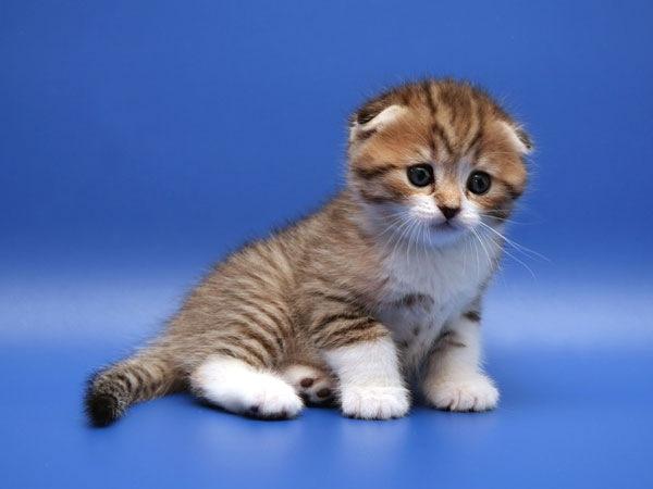 Шотландская вислоухая кошка обладает уравновешенным характером, большой...