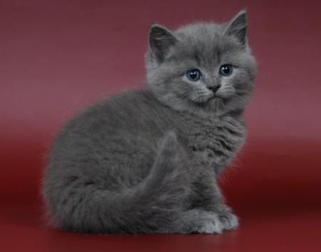 Продам британского котенка, девочка, возраст 1 месяц, окрас голубой.