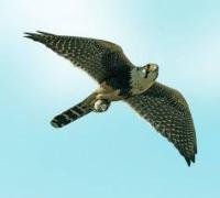 Соколы - многочисленный род хищных птиц...
