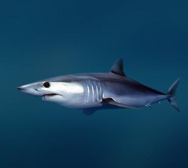 Специалисты по фото определили, что это сельдевая акула.