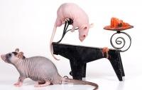 Сфинкс-голая крыса.