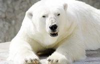 Белый медведь напал на группу британских туристов в Норвегии В пятницу, 5 августа, норвежские власти.