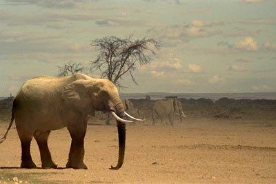 Мэр Киева Черновецкий отказался принять слона из Тайланда.
