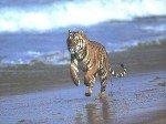 Бойцовый Тигр
