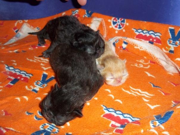 Черные шотландские вислоухие котята